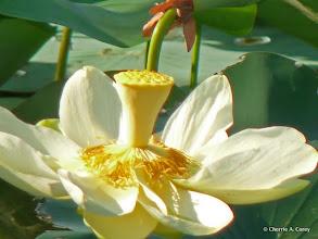 Photo: American lotus