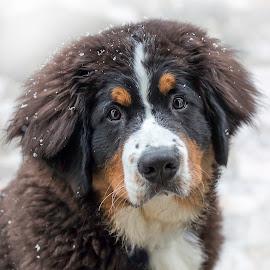 First Snow by Sue Matsunaga - Animals - Dogs Portraits