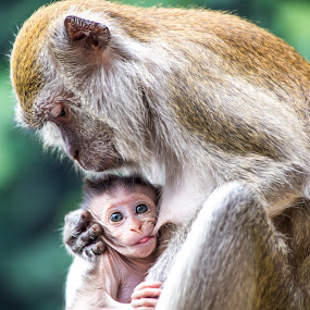 Little monkey  by Silvana Schevitz - Animals Other Mammals ( mammals, feeding, monkey )