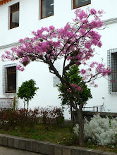 Photo: Tree in courtyard of mayor's office, Quito