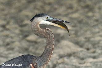 Photo: A great blue heron eats a fish in Gulf Shores, Alabama on Wednesday October 12,2011.