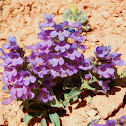 Red Canyon Penstemon