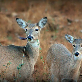 by Karen Carter Goforth - Uncategorized All Uncategorized ( deer,  )