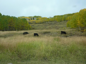 Photo: Le bétail est à l'alpage
