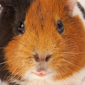 Guinea Pig Sounds