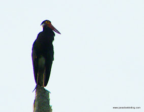 Photo: The critically endangered Storm's Stork, with a stronghold in Sabah, this one on the Kinabatangan River