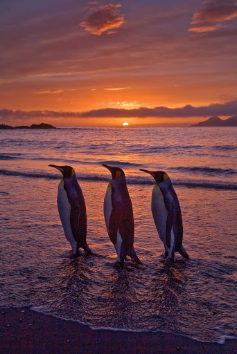 Three king penguins walk in a line on the shore of St. Andrews Bay on South Georgia Island at sunrise.