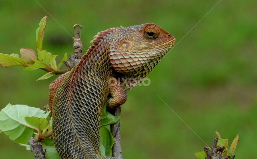 Lizard_following my lens!!! by प्रसाद जोशी - Animals Other ( wild, lizard, forest )