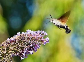 Photo: Taubenschwänzchen (Macroglossum stellatarum) 1 Taubenschwänzchen stehen im Schwirrflug wie Kolibris vor den Blüten. Daher werden sie auch Kolibrischwärmer genannt. Bei ihren 70 bis 90 Flügelschlägen pro Sekunde sind sie nur sehr schwer zu fotografieren.