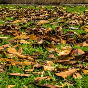 Autumn leaves by Pilar Gonzalez - Nature Up Close Leaves & Grasses ( autumn leaves, fall, autumn colors, close up, green grass,  )