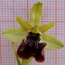 Photo: Ophrys classica – sphegodes