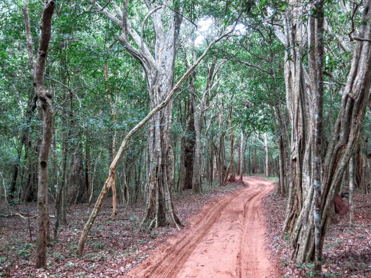 Sri. Lanka Wilpattu National Park . Thick forest and sand track