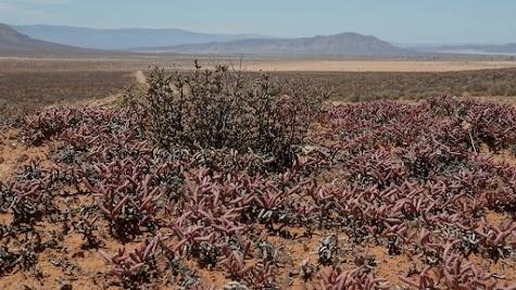 Sukkulenten vor der trockenen Weite der Tankwa Karoo