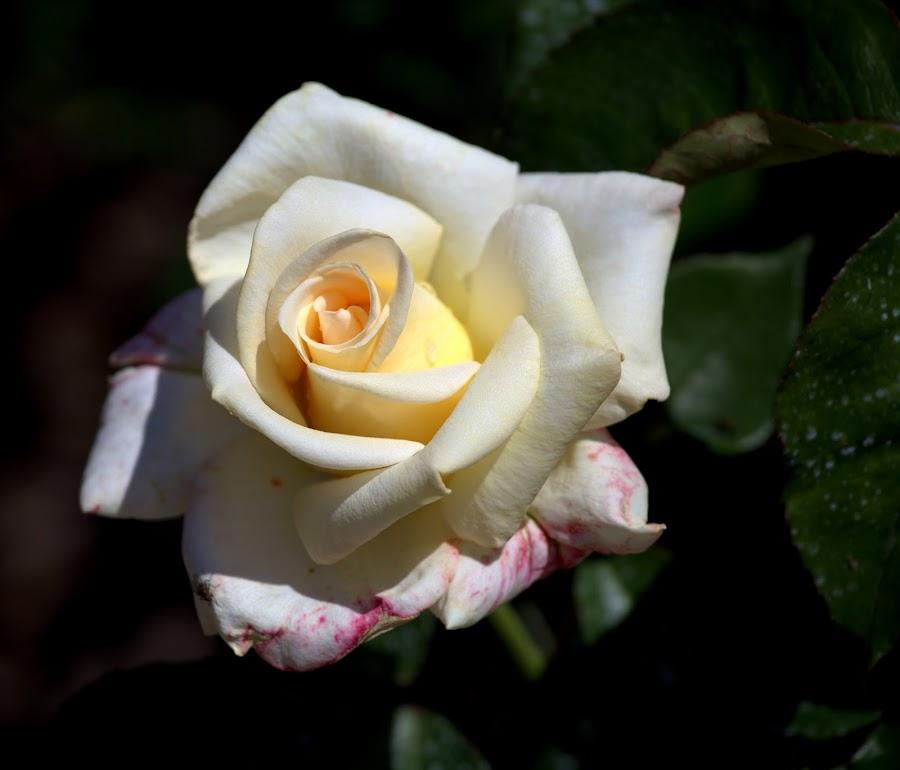 by Dan Doran - Flowers Single Flower