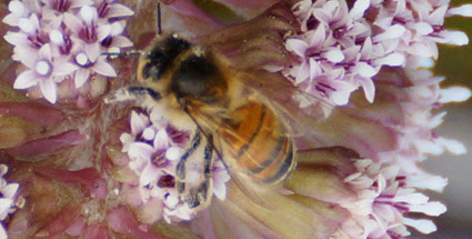 Photo: Honey bee on Butterbur 8 April 2015 © Jim Pewtress 2015