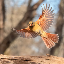 Cardinal Female 201901176285 by Carl Albro - Animals Birds ( flight, bird in flight, bird, flying, cardinal )