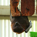 Rodrigues fruit bat (Captive)