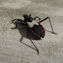 Neotropical Assassin Bug