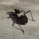 Neotropical Assassin Bug