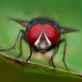 Face of Fly by Robert  Fly - Animals Insects & Spiders ( fly,  )