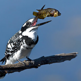 Pied Kingfisher tossing Lunch by Robbie Aspeling - Animals Birds ( bird, nature, avian, fish, kingfisher, eating, pied kingfisher )
