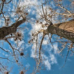 Twins by Bogdan Negoita - Nature Up Close Trees & Bushes ( sky, tree,  )