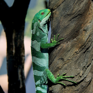 Figi Banded Iguana 2.jpg