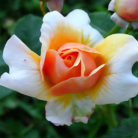 Rosa by Juan Tomas Alvarez Minobis - Flowers Single Flower ( rose, single flower, beautiful,  )