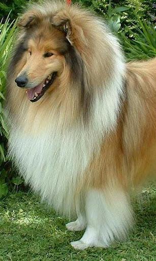 コリー犬のジグソーパズル