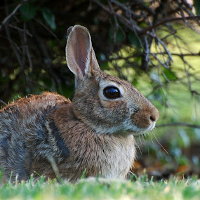 Resident Rabbit by Stephanie Ostrander Bishop - Animals Other Mammals ( rabbit, animals, bunny, ears, wildlife, nikon )