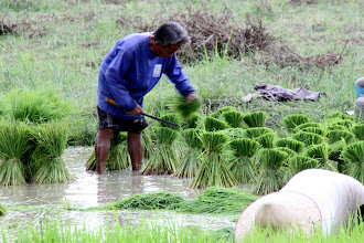 Photo: Day 350 - Rice Worker in Action