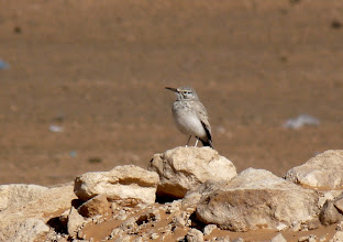 Photo: Allodola beccocurvo | Alaemon alaudipes | Greater Hoopoe Lark