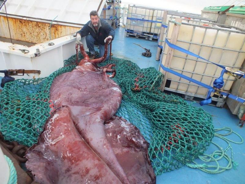 Колоссальный кальмар или Атлантический гигантский кальмар