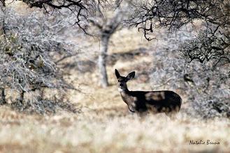 Photo: Deer - N. Bruno