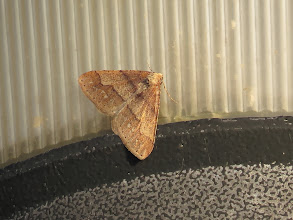 Photo: Priorslee Lake This moth has a dotted border: that's because it is a Dotted Border moth! Good name. (Ed Wilson)