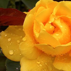 Wet Yellow Rose.jpg