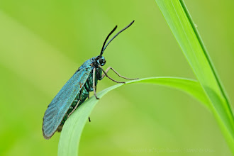 Photo: Adscita statices, Turquoise, Forester Moth http://lepidoptera-butterflies.blogspot.fr/