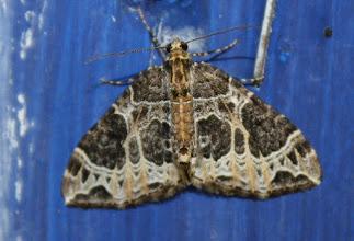 Photo: Ecliptoptera silaceata   Lepidoptera > Geometridae