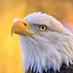 Autumn Eagle by Pam Mullins - Animals Birds ( bird, canada, nature, beautiful, bald eagle, wildlife, raptor,  )