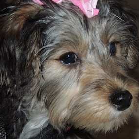 Penny with pink bow by Karen Dayton - Animals - Dogs Puppies ( canine, sweet, yorkshire terrier, maltese, silky terrier, terrier, adorable, penny, cute, dog, morkie, small dog,  )