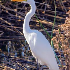 still white heron by Joanne Burke - Animals Birds ( macro, white heron, nature, bird, tack sharp )