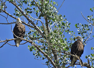 Photo: Adult Bald Eagle pair at Charles M Russell NWR - RM 139