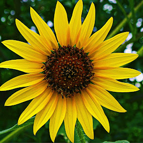 ----------Sunflower---------- by Neal Hatcher - Nature Up Close Flowers - 2011-2013 ( , Spring, springtime, outdoors, Hope )