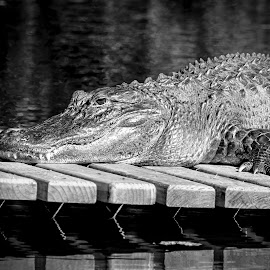 Gator on a dock by Debbie Quick - Black & White Animals ( alligator, debbie quick, gator, nature, florida, reptile, debs creative images, water, outdoors, animal, black and white, wild, wildlife )