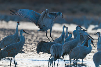 Photo: Sandhill cranes showing off; Bosque del Apache