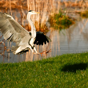 Heron Landing by Kenny Routledge - Animals Birds ( scotland, dumfries and galloway, river life, wildlife, kenny routledge, birds, heron, river )
