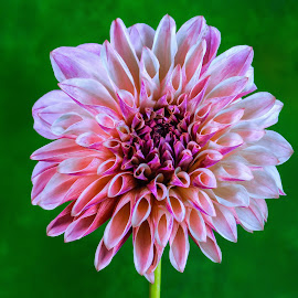 Salmon Dahlia #2 by Jim Downey - Flowers Single Flower ( magenta, green, white, dahlia, purple )