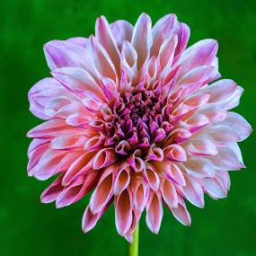 Salmon Dahlia #2 by Jim Downey - Flowers Single Flower ( magenta, green, white, dahlia, purple )