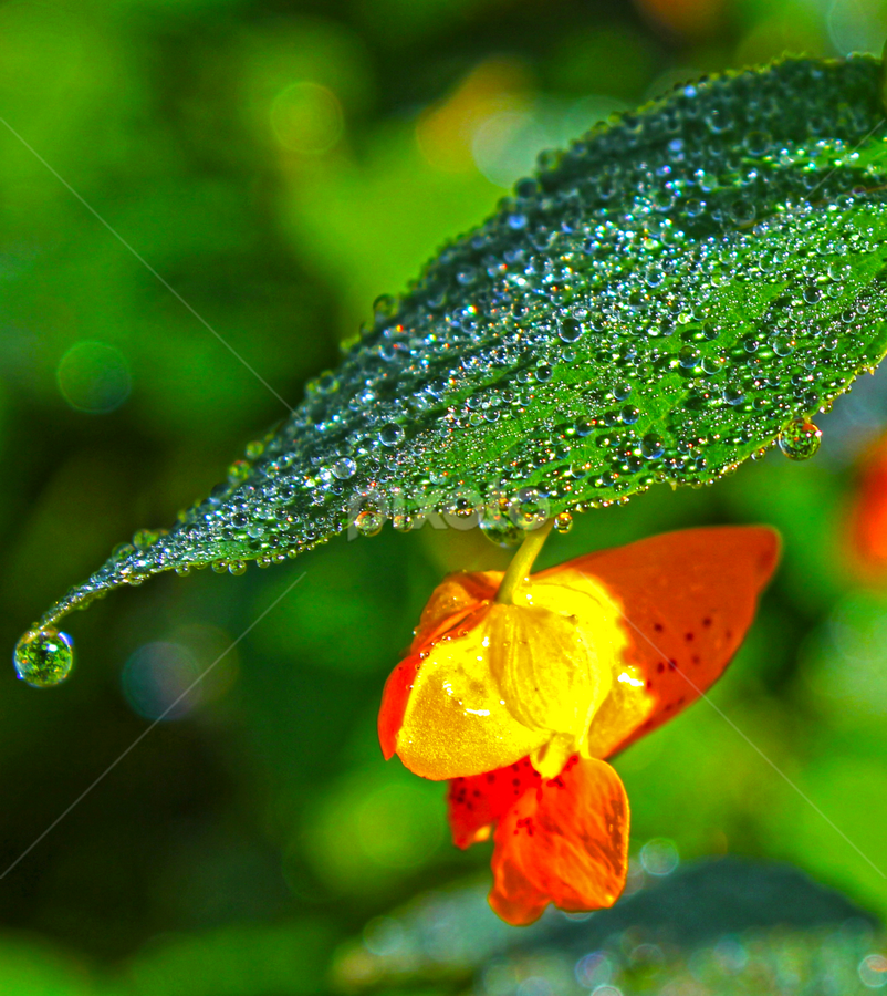 Dew Drops by Ian Sell - Nature Up Close Leaves & Grasses ( plant, water, dew, drops, bloom, leaf, garden )