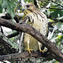Prairie Hawk
